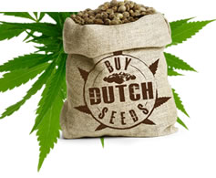 Dutch Marijuana Seeds