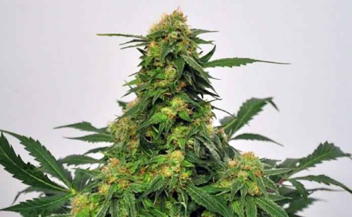 The Marijuana Effect Seedbank
